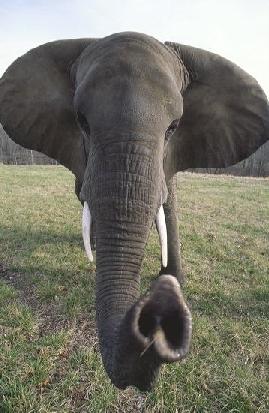 mediumelephant
