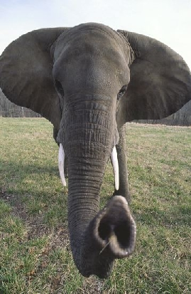 mediumelephant1