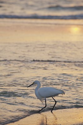 Snowy egret in the surf on the beach at sunset image 20120226-576